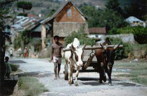 Nel 50 anniversario gli zebu tirano ancora i carretti